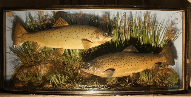 Brown Trout 001[1] [640x480].JPG